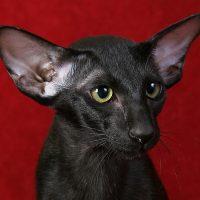 Чёрный кот на красном фоне