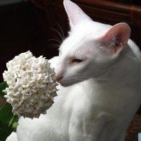 Белая кошка нюхает цветок