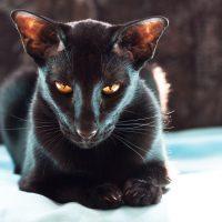 Чёрная кошка с огненными глазами