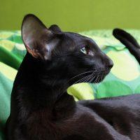Чёрная кошка на диване