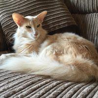 Ориентальная полудлинношерстная кошка на диване