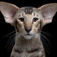 Портрет ушастого кота