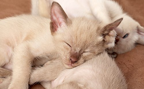 Ориентальные котята спят на одеяле