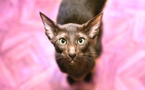 Ориентальная кошка на розовом фоне