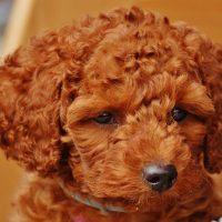 Мылый щенок коричневого пуделя