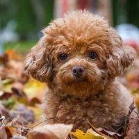 Коричневый щенок пуделя среди осенних листьев