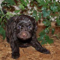 Черный щенок пуделя