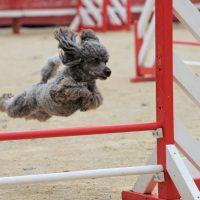 Серый пудель в прыжке