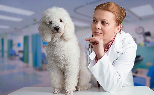 Пудель на осмотре у ветеринара
