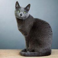 Русская голубая кошка сидит