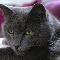 Взгляд роскошного кота