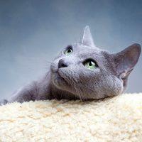 Портрет породистой кошки
