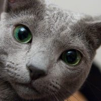 Серьёзный зеленоглазый кот