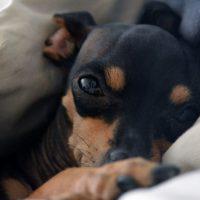 Собачка той-терьер спит под одеялом