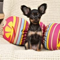 Той-терьер с большими ушами сидит в подушках