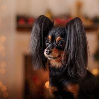 Красивый пес породы российский той-терьер