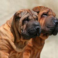 Две собаки в профиль