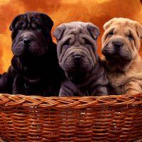 Три щенка в корзине