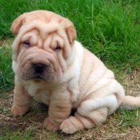 Милый кремовый щенок