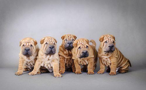Портрет пятерых щенят