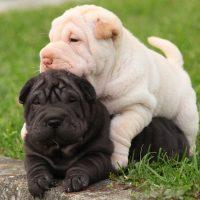 Два щенка играют на траве