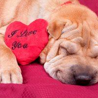 Пёс спит в обнимку с валентинкой