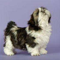Чёрно-белый пёсик