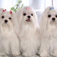 Три белве собачки