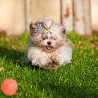 Бегущий по траве щенок
