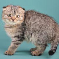 Портрет вислоухого котёнка