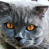 Портрет серого кота