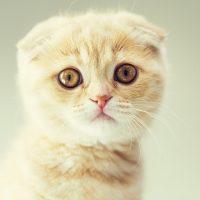Портрет кремового котёнка
