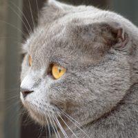 Круглая морда породистого кота