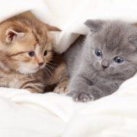 Два шотландских котёнка