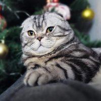 Кот лежит перед ёлкой