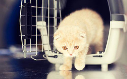 Кремовый котёнок выходит из переноски