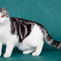Шотландская кошка на зелёном фоне