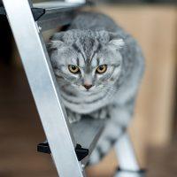 Хмурый шотландский кот
