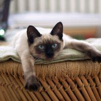 Сиамская кошка потягивается на диване