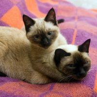 Сиамские кошки на кровати