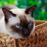 Сиамский кот сидит в плетеной корзине