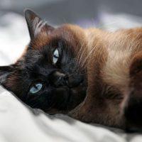 Сиамской кот темного окраса