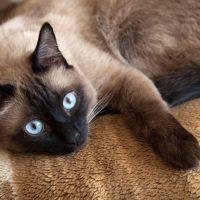 Сиамский кот лежит на ковре