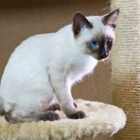 Сиамский котенок сидит на подставке