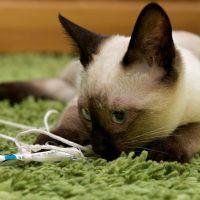 Сиамская кошка играется на ковре