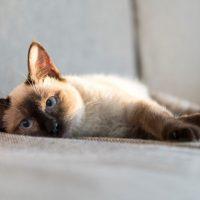 Красивый кот сиамской породы