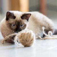 Симпатичный сиамский кот играется клубком