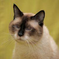 Портрет красивого сиамского кота