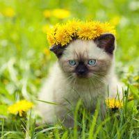 Маленький сиамский котенок с венком на голове