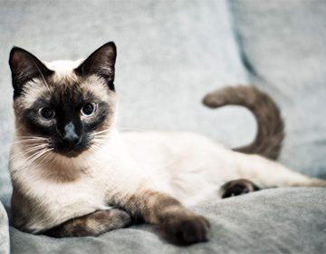 сиамская кошка фото описание породы